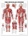 The Muscular System Anatomical Chart - Book