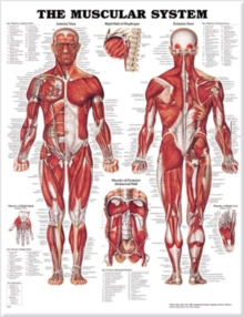 The Muscular System Anatomical Chart, Wallchart Book